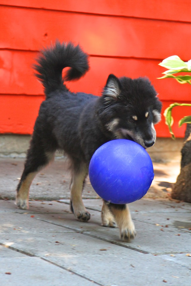 ONNI   5 MONTHS OLD Concentrating so hard to walk and carry the new ball at the same time