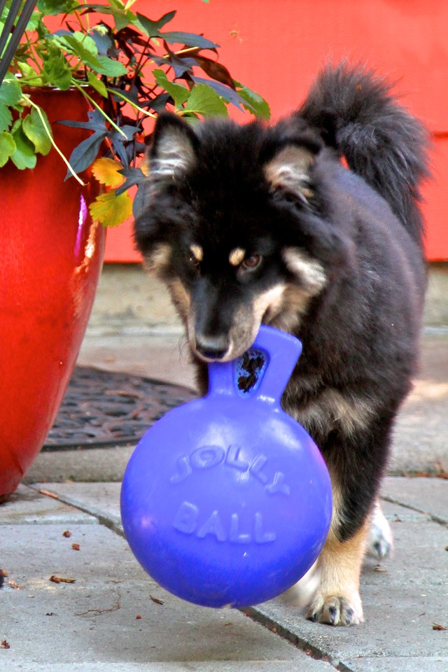 ONNI   5 MONTHS OLD The new Jolly Balls arrived from Amazon today and are a huge hit! Especially this one with the handle on it