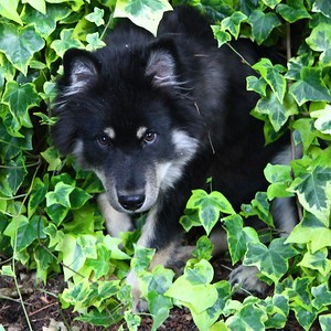 """ONNI September 16, 2012 Onni loves the ivy growing on our fence and just discovered he can sneek behind the ivy """"curtain"""" and pop out and surprise us.  And he looks AWESOME in green to make it even more fun!!  http://www.facebook.com/ONNItheLAPPIE"""