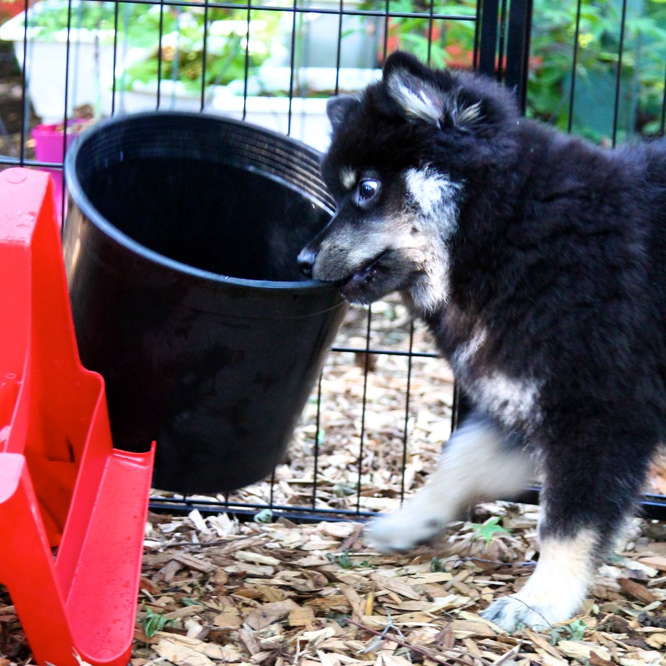Onni 12 weeks old  7-13-12 -THE POT WON!  http://www.facebook.com/ONNItheLAPPIE