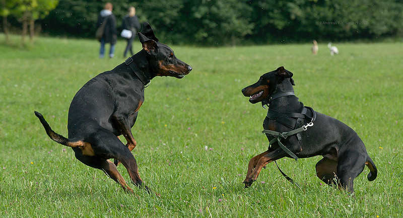 Dobermann fun
