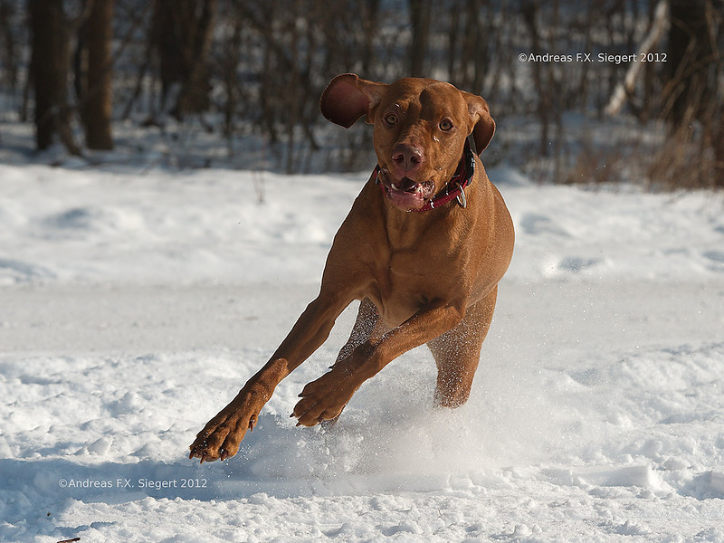 Vizsla in the snow
