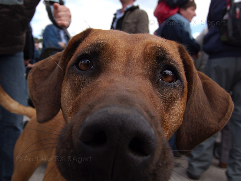 Nosy - 11month old Ridgeback female (with something else mixed in)