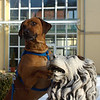 Löwenhund II<br /> (in Germany Rhodesian Ridgebacks are often called lion dogs)