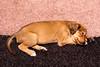 Sleeping saluki pup