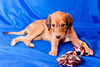 Saluki pup and toy