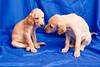 Two saluki pups