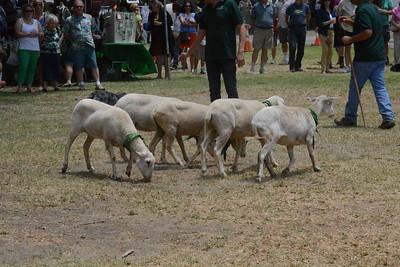 Sheep Herding Demonstration, 15 June 2014