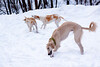 Hound pups in snow