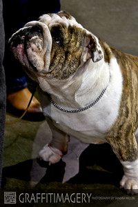 Cute bulldog at PDX show