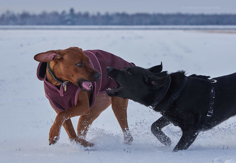 Toffee and Onyx in the Snow.