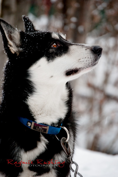 """Gaea, female wheel dog from Miki and Julie Collins """"the Trapline Twins"""". Bred to break trail and haul heavy gear out in the bush of Alaska"""