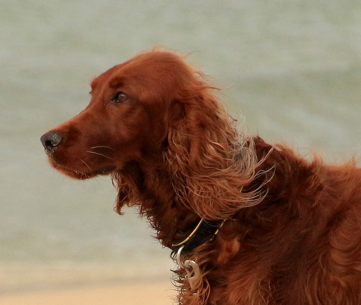 Portrait of Red Setter