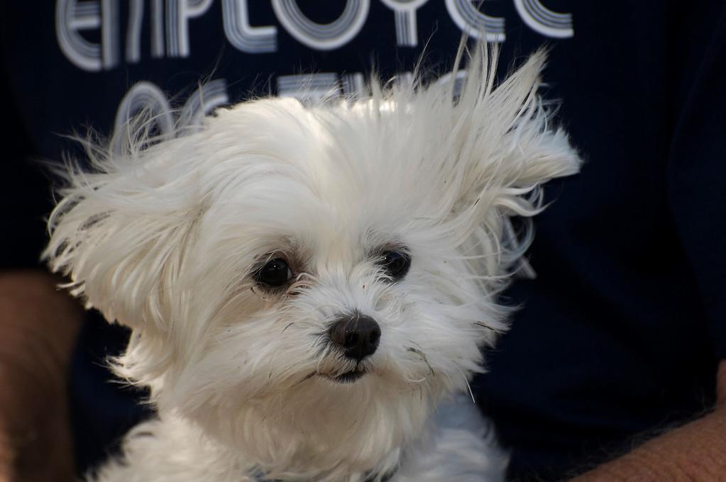 Roxie 8 Year Old Maltese