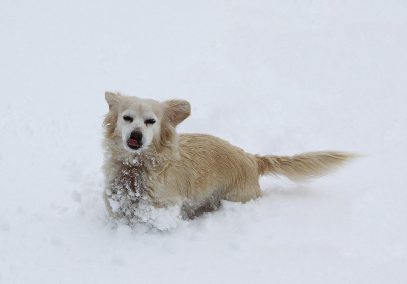 Trixie the snow dog.