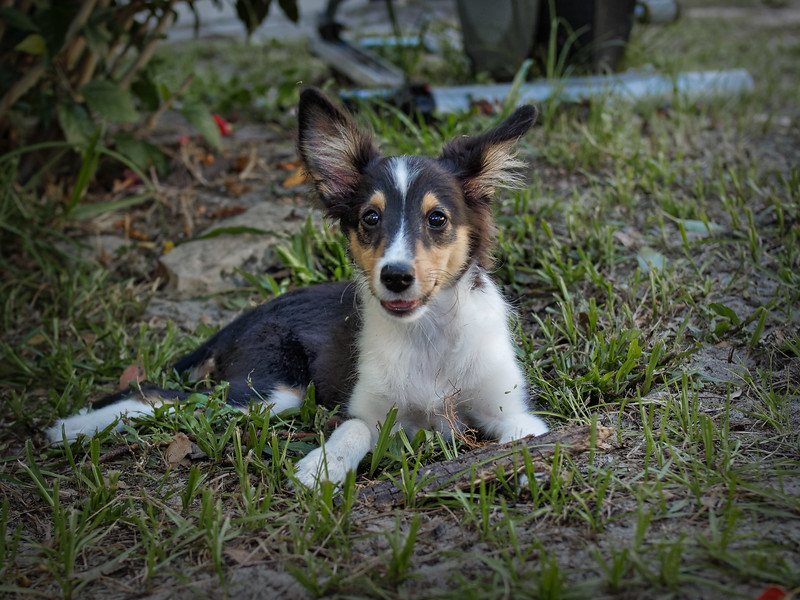 Pixie in the Yard