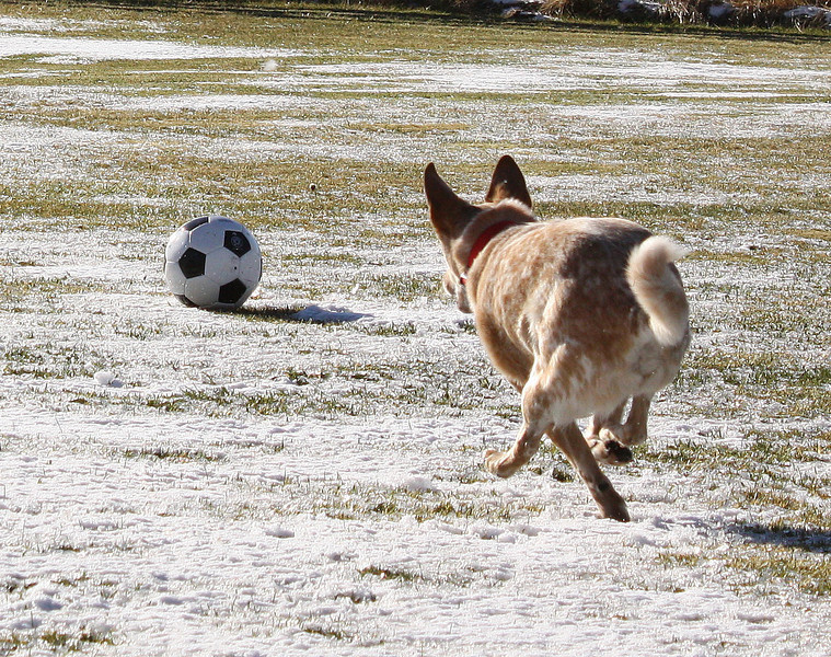 Angus the dingo dog plays soccer.