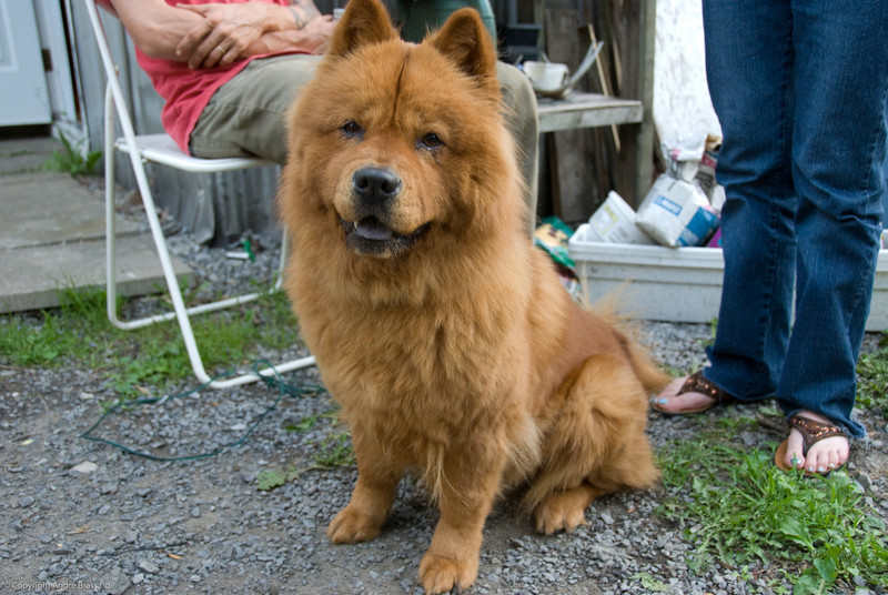 My daughter Myriam's Chow Chow