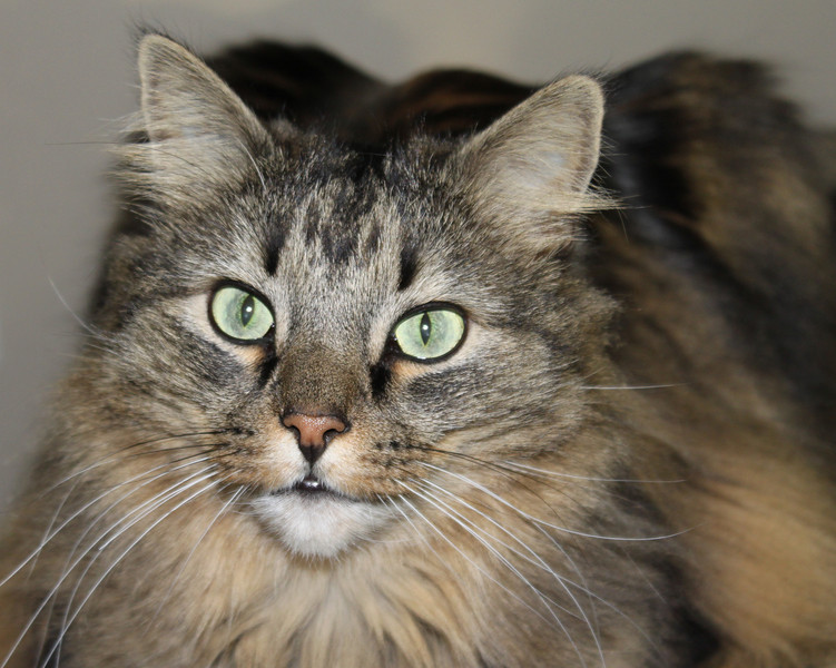 Maury the Maine Coon Cat