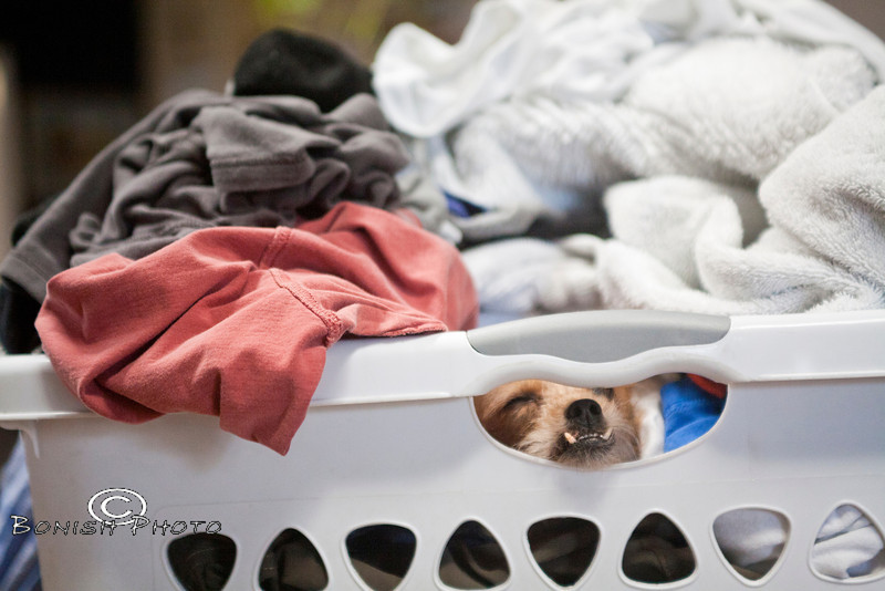 Nothing Better than sleeping under a pile of laundry fresh out of the dryer - One of the many spots Little finds to sleep - Photo by Pat Bonish
