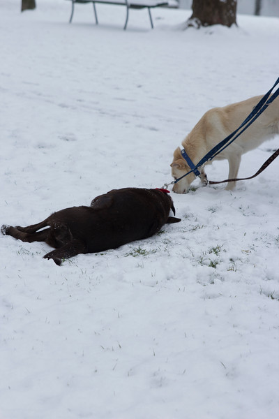 Switzerland, Lucerne, Dogs Playing in the Snow SNM