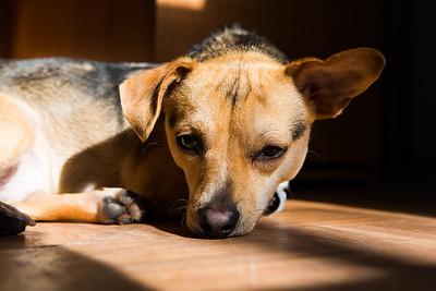 dogs, chihuahua, beagle