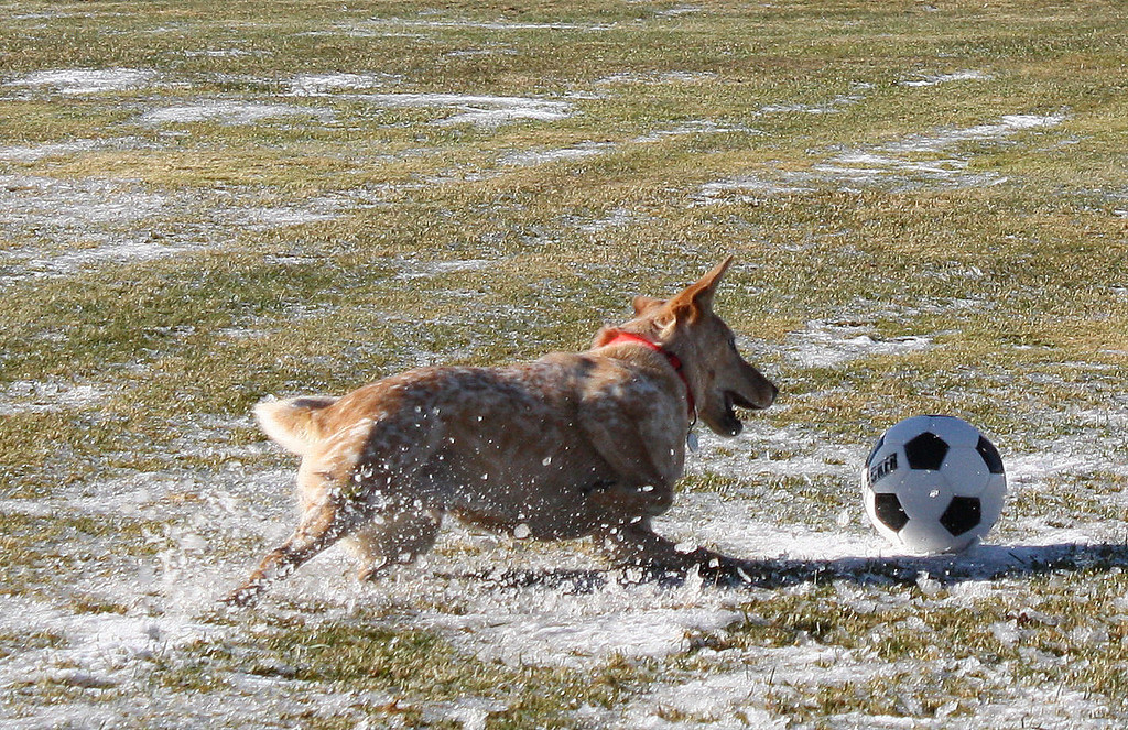 Angus the dingo dog loves to play!