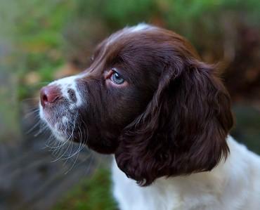 Monty, our springer spaniel pup
