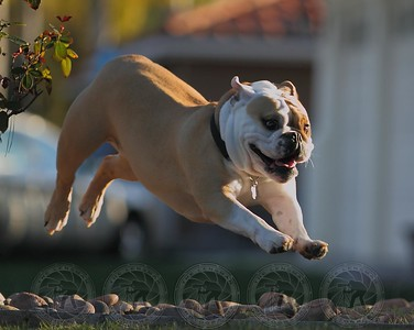 """Pebbles"" the flying Bulldog!"