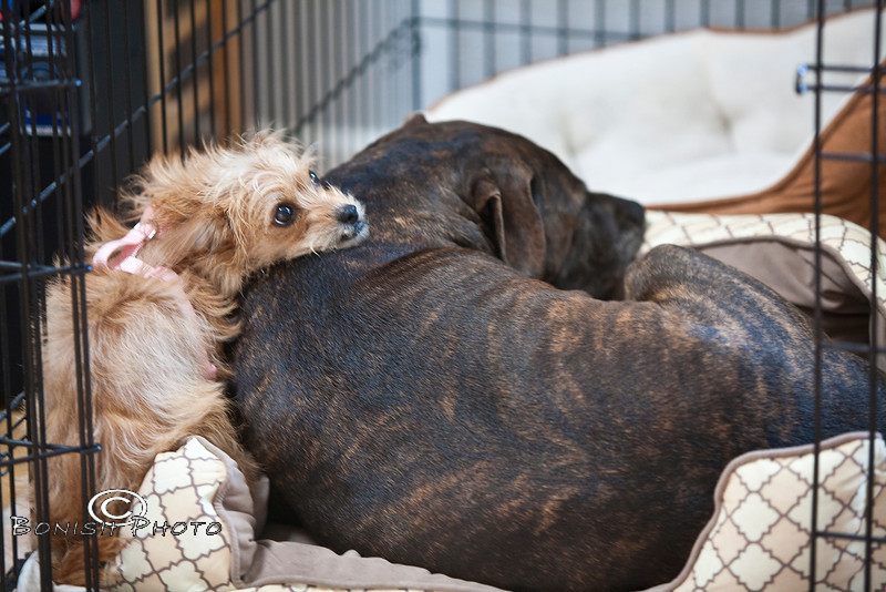 This doesnt look comfortable, but it's how she likes to sleep on him - Little & Luca in their crate - Photo by Pat Bonish