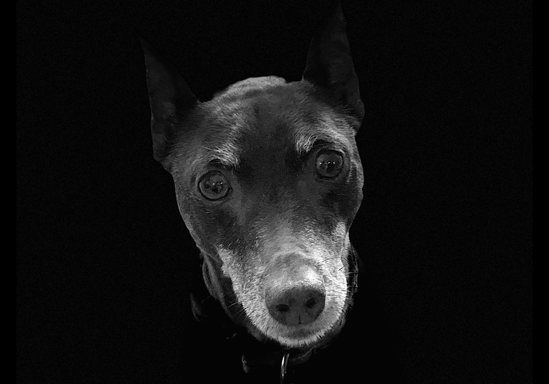 Ruby the MinPin at 11 Years Old