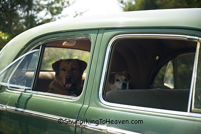 Rambo and Rowdy Waiting for a Ride in a 1940 Buick Special, Alamance County, North Carolina