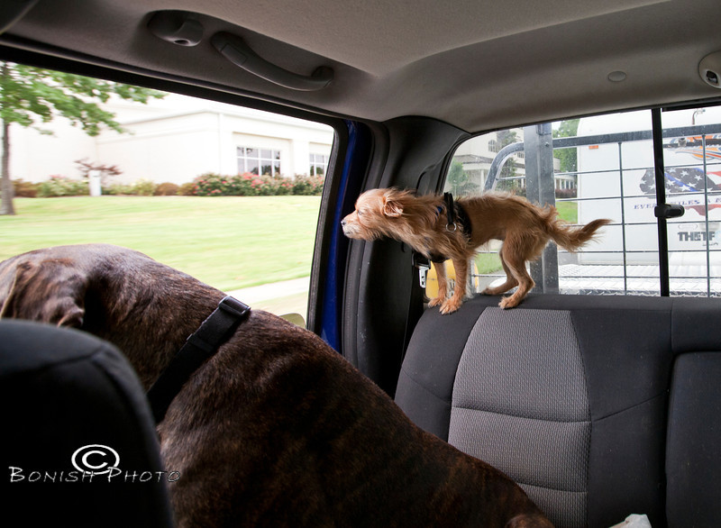 Feeling the Breeze while riding in the Truck - Little & Luca - Photo by Pat Bonish