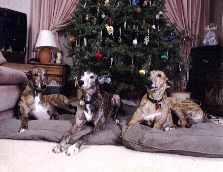 Christmas, 2000.  This was taken on Porta 125 on a Bronica 645 camera, 75 mm lens.<br /> <br /> Left to Right:  Buck, Yoda and Jammer.   They are playing together again now.