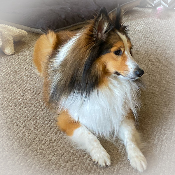 Willy the Sheltie