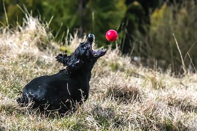 Spaniel catching Red Ball - 2696-.jpg