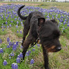 Texas Bluebonnets are in bloom