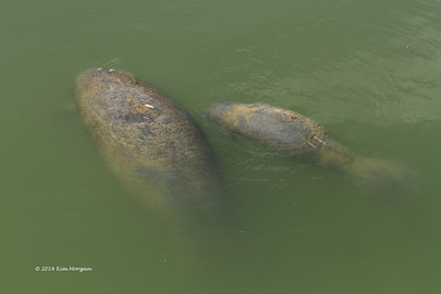 This manatee mom and her baby were swimming in a marina in Captiva.  Sadly, it looks like the baby already has marks from a boat.  In Florida, it is always important to watch for these beautiful animals.
