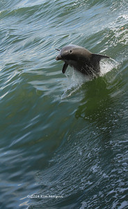 Wild dolphin playing in the boat waves in Pine Island Sound.
