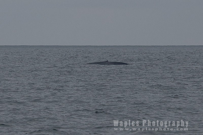 BlueWhale-0231