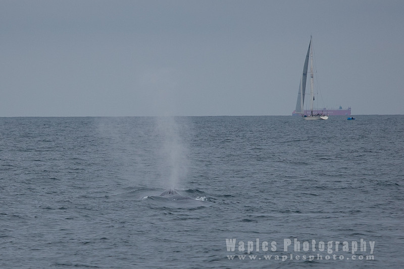 BlueWhale-0272