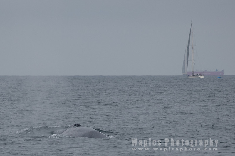 BlueWhale-0274