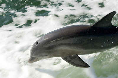 Bottlenose dolphin leaps in Pine Island sound