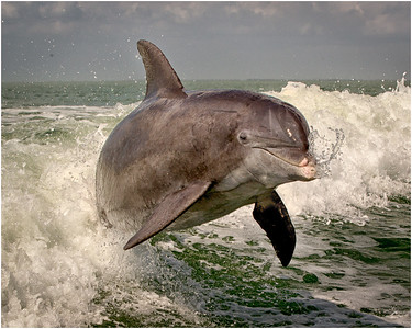 Dolphin face first