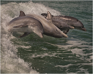 Family of dolphin leap together