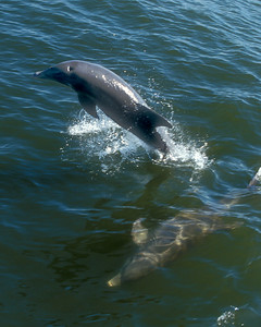 Pair of dolphins leap and dive