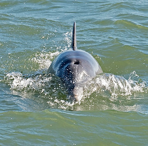 Atlantic Coastal Bottlenose Dolphin
