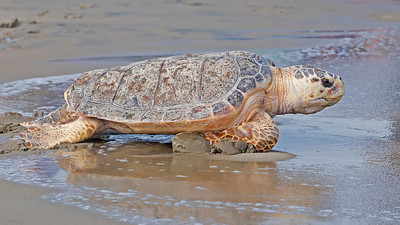 Loggerhead returning home