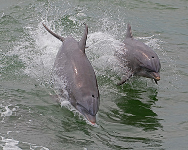 Atlantic Coastal Bottlenose Dolphins