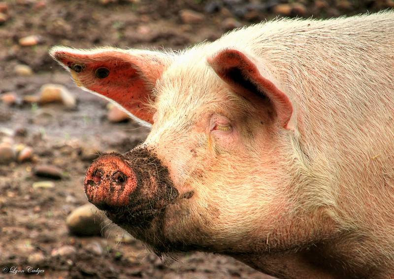 Pig, Inverness